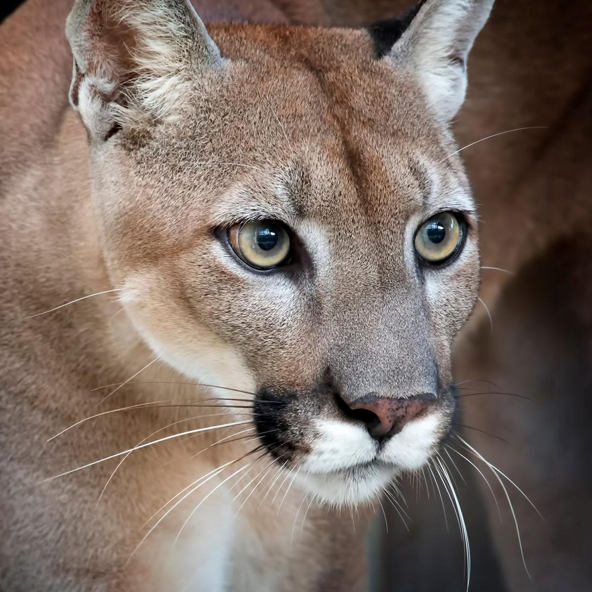 Florida Panther   Wildlife and Wild Lands